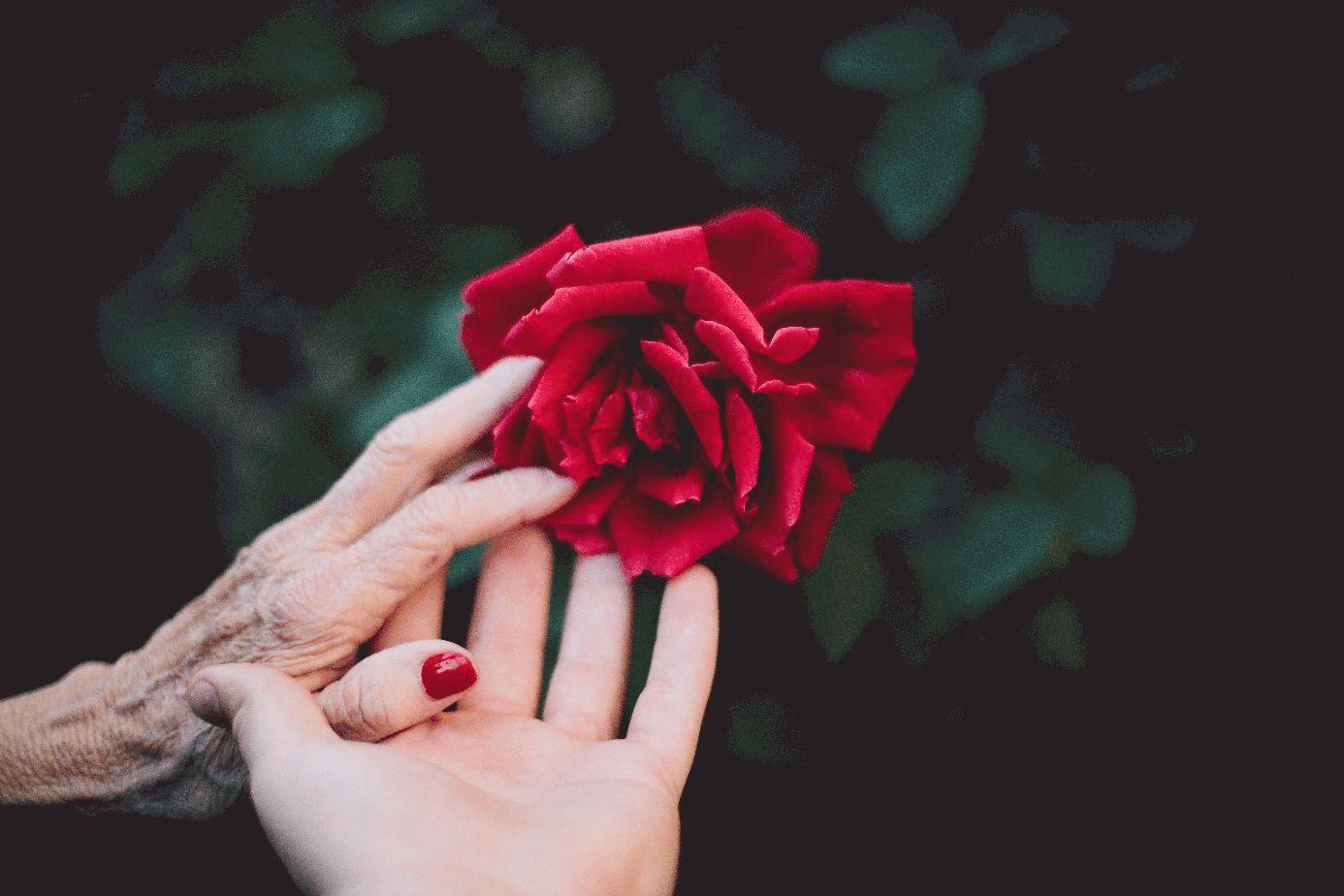 Hand einer alten Frau gibt eine rote Rosenblüte in die Hand eines jüngeren Menschens weiter.